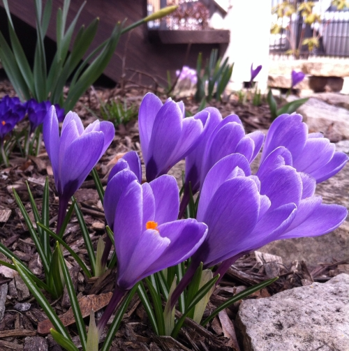 crocus-4-crop