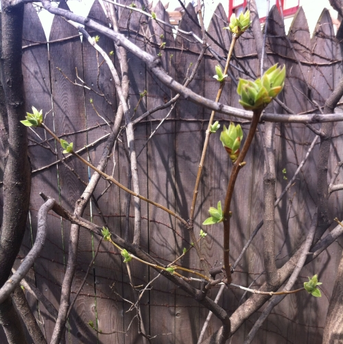 lilac-crop