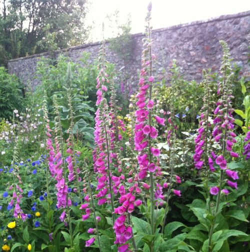 foxgloves-best